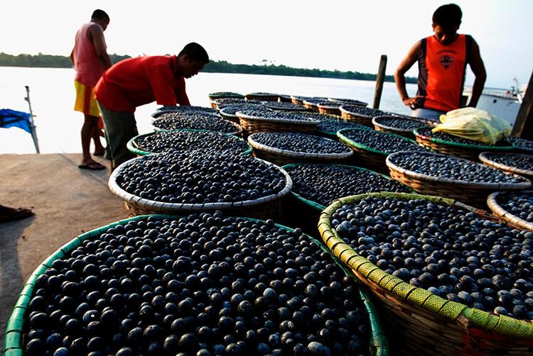 Acai jagode v Braziliji