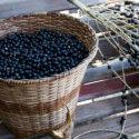 Zakaj so jagode acai zdrave za vas?